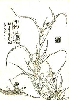 図は「備考草木圖」(天保年間、建部清庵)より